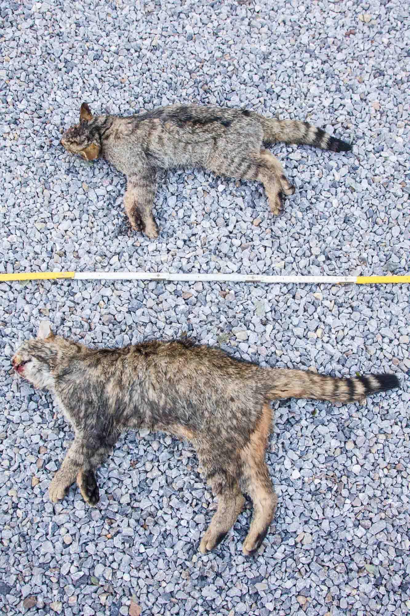 Wildkatze Opfer des Straßenverkehrs