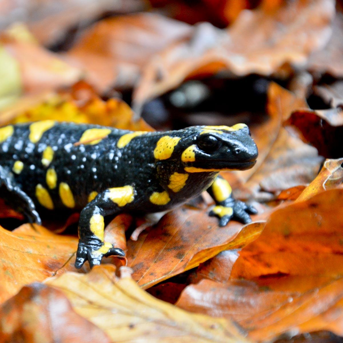 Landesweite Kartierung der  Amphibien und Reptilien