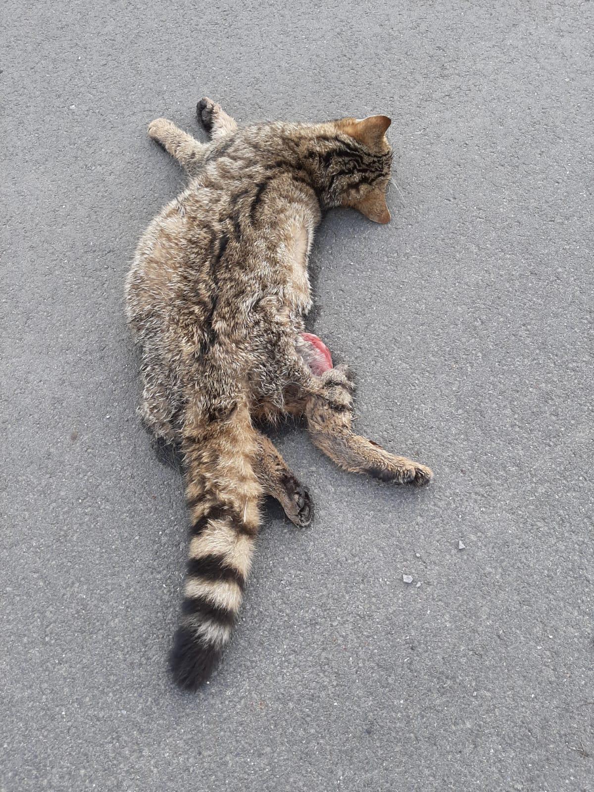 Schon wieder Wildkatze Opfer des Straßenverkehrs